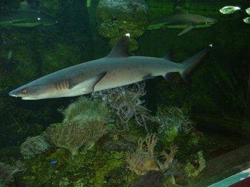 Shark - reef 02